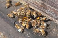 スズメバチと闘うミツバチ 23018005791  写真素材・ストックフォト・画像・イラスト素材 アマナイメージズ