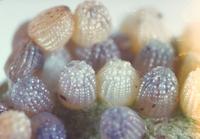 ツマグロヒョウモンの卵 23018006490| 写真素材・ストックフォト・画像・イラスト素材|アマナイメージズ