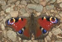 クジャクチョウ 23018006569| 写真素材・ストックフォト・画像・イラスト素材|アマナイメージズ