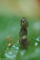 サカハチチョウの卵