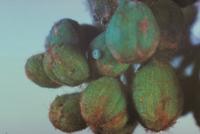 スギタニルリシジミの卵