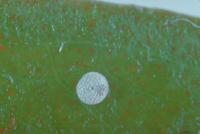 アマミウラナミシジミの卵 23018007461| 写真素材・ストックフォト・画像・イラスト素材|アマナイメージズ
