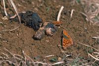 獣糞に来るキタテハ