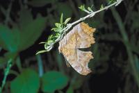 睡眠中のキタテハ 23018007630| 写真素材・ストックフォト・画像・イラスト素材|アマナイメージズ