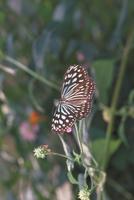 リュウキュウアサギマダラ 23018007807| 写真素材・ストックフォト・画像・イラスト素材|アマナイメージズ