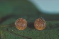ジャコウアゲハの卵