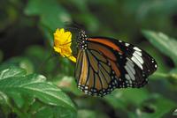 スジグロカバマダラ 23018008892| 写真素材・ストックフォト・画像・イラスト素材|アマナイメージズ