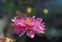 イチモンジセセリ 23018009069| 写真素材・ストックフォト・画像・イラスト素材|アマナイメージズ
