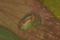 クロシタアオイラガのまゆ作り〈3〉 23018009242| 写真素材・ストックフォト・画像・イラスト素材|アマナイメージズ