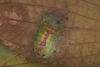 クロシタアオイラガのまゆ作り〈5〉 23018009244| 写真素材・ストックフォト・画像・イラスト素材|アマナイメージズ
