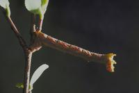 シャクトリムシ(シャクガ) 23018009387| 写真素材・ストックフォト・画像・イラスト素材|アマナイメージズ