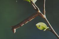 シャクトリムシ(シャクガ) 23018009388| 写真素材・ストックフォト・画像・イラスト素材|アマナイメージズ