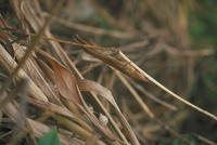 クビキリギス 23018009485| 写真素材・ストックフォト・画像・イラスト素材|アマナイメージズ