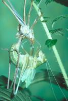 キリギリスの羽化10
