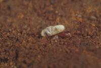 エンマコオロギの孵化1