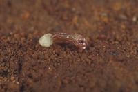 エンマコオロギの孵化2