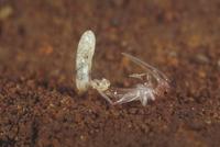 エンマコオロギの孵化3