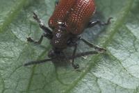 キイロクビナガハムシ