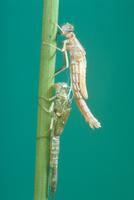 アジアイトトンボの羽化4