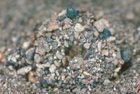 ウスバカゲロウの繭の中の前蛹