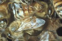 ミツバチ 23018010351| 写真素材・ストックフォト・画像・イラスト素材|アマナイメージズ