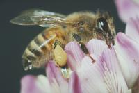 ミツバチ 23018010362| 写真素材・ストックフォト・画像・イラスト素材|アマナイメージズ