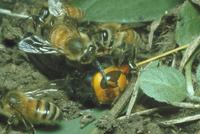 ミツバチ 23018010381  写真素材・ストックフォト・画像・イラスト素材 アマナイメージズ