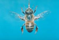 ミツバチ 23018010387  写真素材・ストックフォト・画像・イラスト素材 アマナイメージズ