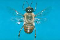ミツバチ 23018010388  写真素材・ストックフォト・画像・イラスト素材 アマナイメージズ