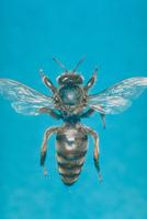ミツバチ 23018010389  写真素材・ストックフォト・画像・イラスト素材 アマナイメージズ