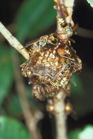 コアシナガバチ 23018010470  写真素材・ストックフォト・画像・イラスト素材 アマナイメージズ