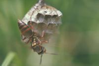 コアシナガバチ 23018010472  写真素材・ストックフォト・画像・イラスト素材 アマナイメージズ