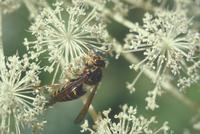 ヤドリスズメバチ
