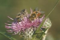 ハラナガツチバチの一種 23018010494  写真素材・ストックフォト・画像・イラスト素材 アマナイメージズ
