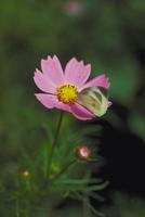 モンシロチョウ 23018010529| 写真素材・ストックフォト・画像・イラスト素材|アマナイメージズ