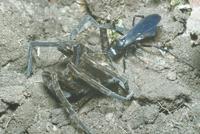 アシダカグモを狩るオオモンクロベッコウ(オオモンクロクモバチ 23018010546| 写真素材・ストックフォト・画像・イラスト素材|アマナイメージズ