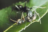 アリとアリグモの争い 23018010555| 写真素材・ストックフォト・画像・イラスト素材|アマナイメージズ