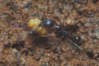 コハナバチの花粉だんごを運ぶアシナガアリ