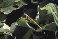 カマキリ 23018010619| 写真素材・ストックフォト・画像・イラスト素材|アマナイメージズ