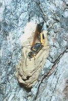 キゴシジガバチ 23018010631  写真素材・ストックフォト・画像・イラスト素材 アマナイメージズ