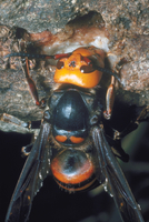 スズメバチ 23018010635| 写真素材・ストックフォト・画像・イラスト素材|アマナイメージズ