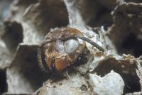 スズメバチ 23018010638| 写真素材・ストックフォト・画像・イラスト素材|アマナイメージズ