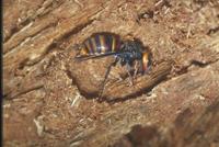スズメバチ 23018010641| 写真素材・ストックフォト・画像・イラスト素材|アマナイメージズ