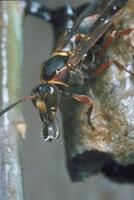 コアシナガバチ 23018010693| 写真素材・ストックフォト・画像・イラスト素材|アマナイメージズ