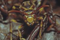キアシナガバチ 23018010729| 写真素材・ストックフォト・画像・イラスト素材|アマナイメージズ