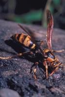 セグロアシナガバチ 23018010921| 写真素材・ストックフォト・画像・イラスト素材|アマナイメージズ