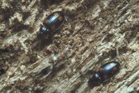 コヨツボシアトキリゴミムシ