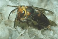 コガタスズメバチ 23018011127| 写真素材・ストックフォト・画像・イラスト素材|アマナイメージズ