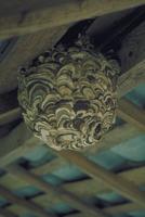 コガタスズメバチ 23018011137| 写真素材・ストックフォト・画像・イラスト素材|アマナイメージズ