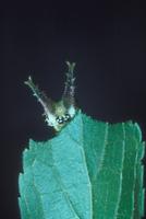 エノキの葉を食べて休むゴマダラチョウ